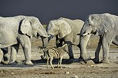 Elephants and Zèbre at waterhole - Etosha Namibia