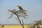 Vautour africain sur un arbre - Etosha Pan  Namibie
