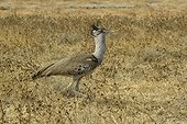 Kori bustard in Savannah - Etosha Namibia