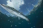 Barracuda nageant sous la surface - Fidji