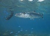 Barracuda et plongeuse sous la surface - Fidji