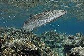 Barracuda au dessus du récif - Fidji