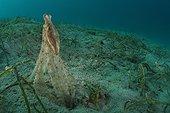 Small octopus on sandy bottom and sea grass - Fiji
