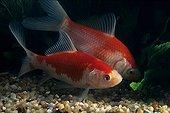 Goldfish 'Sarasa komet'