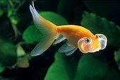 Goldfish 'Bubble Eye'