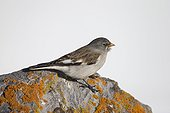 White-winged Snowfinch on a rock - Swiss Alps