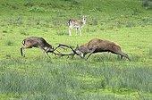 Fight between Fallow Deer and Red Deer - Burgundy France