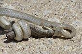 Olive Whip Snake catching a Lizard - Etosha Namibia