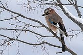 Eurasian Jay on a branch in winter - Balkans Bulgaria