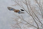 Eurasian Jay in flight in winter - Balkans Bulgaria