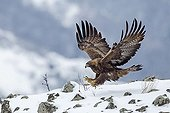 Golden Eagle landing on rocks in winter - Balkans Bulgaria