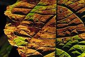 Nervures d'une feuille qui va mourrir - Guyane Française ; La forêt des Malgaches