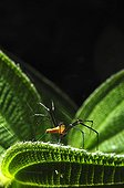 Spider spinning its web on a leaf - French Guiana