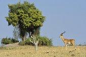 Black-faced Impala alert - Chobe Botswana ; presence of Lions