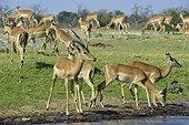 Imapalas black face on the bank - Chobe Botswana