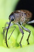 Portrait of Hazelnut Weevil - France