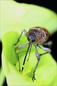 Hazelnut Weevil on flower - France