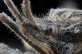 Portrait of western conifer seed bug - France