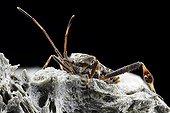 Western conifer seed bug - France
