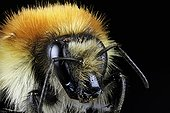 Portrait of Bumblebee on black background - France