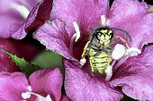 Wasp in a flower - France