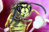 Portrait of Wasp in a flower - France
