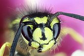 Portrait of Wasp - France