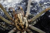 Common Spider - France