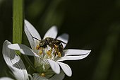 Bee pollinating a flower - France