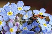 Gendarme sur fleurs de Myosotis - France