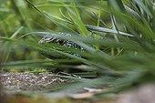 Lizard hidden in the grass - France