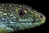 Portrait of lizard on black background - France