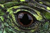 Eye of lizard - France