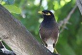 Common Myna on a branch - Maurice island