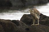 Striated heron on rocks - Mauritius