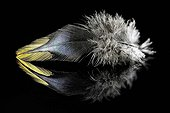 Rooster feather on black background