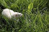 Albino ferret in the grass - France