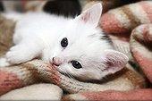 Kitten lying on blanket