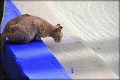 Cat drinking from a pool -Jardin Majorelle Marrakech Morocco
