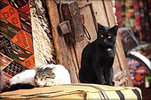 Cats on a cushion - Marrakech Morocco