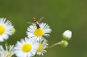 Hoverfly on Daisy flowers - Slovenia