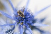 Bee-fly on Eryngo blossoms - Island Krk Croatia