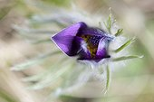 Pasque flower in bloom - France Burgundy
