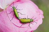 Lytta Spanishfly mating on a Rose - Provence France