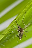 Asian Bush Mosquito on a leaf ; is spreading in Switzerland and Germany
