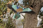 European Roller feeding chick at nest - Spain ; nest in a former Dendrocopus nest on an Almond tree