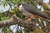 Eurasian Hobby on Almond in the vicinity of his nest - Spain