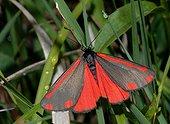 Cinnabar moth on grass - Vosges France