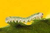 Sawfly larva on leaf - Alsace France