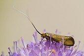 Brassy Long-horn on Scabieusa flower - Alsace France